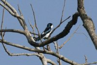 Pied-winged Swallow - Hirundo leucosoma