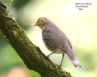 Bare-eyed Thrush - Turdus nudigenis