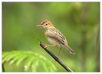 Golden-headed Cisticola - Cisticola exilis