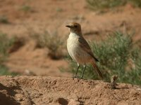 Red-rumped Wheatear - Oenanthe moesta