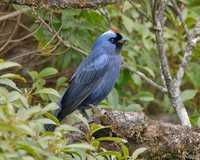Diademed Tanager - Stephanophorus diadematus