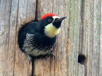 Acorn Woodpecker. Photo by Greg Gillson