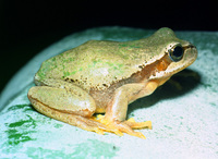 : Hyla savignyi; Yellow-Lemon Tree Frog