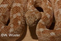 : Echis coloratus; Burton's Carpet Viper