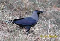 Photo of vrána lesklá, Corvus splendens, House Crow, Glanzkrahe