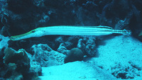 Aulostomus maculatus, Trumpetfish: fisheries, aquarium