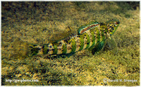 Etheostoma zonale, Banded darter: