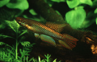 Aphyosemion bitaeniatum, Two-striped Aphyosemion: aquarium