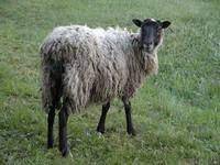 Ovis ammon f. aries - Domestic Sheep
