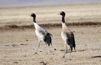 Image of: Grus nigricollis (black-necked crane)