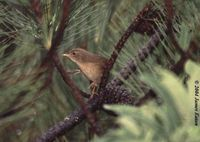 Brown Bush Warbler - Bradypterus luteoventris