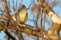Yellow-bellied  elaenia   -   Elaenia  flavogaster   -