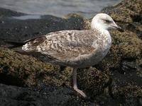 Yellow-legged Gull, El Golfo, Lanzarote, March 2006.