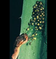 Tree Frog eggs are tuned to vibrations - larvae escapes right of snake - thanks Karen