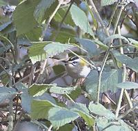 The Priorslee Lake Firecrest photographed by Paul King