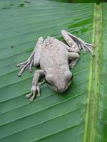 : Litoria thesaurensis; Treasury Island Treefrog