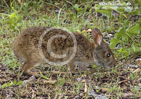 : Sylvilagus palustris; Marsh Rabbit