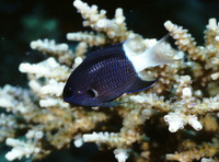 Chromis margaritifer, Bicolor chromis: aquarium