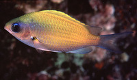 Chromis ovalis, Hawaiian chromis: aquarium