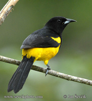 Icterus dominicensis - Black-cowled Oriole