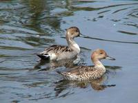Image of: Anas acuta (northern pintail)