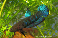 betta persephone.from Johor(CRITICALLY ENDANGERED)