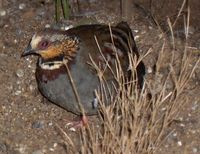 White-necklaced Partridge - Arborophila gingica