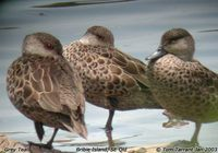 Grey Teal - Anas gracilis