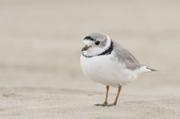 Piping Plover (Charadrius melodus) photo