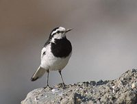 Black-backed Wagtail (Motacilla lugens) photo
