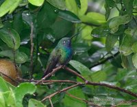 Green-breasted Mango - Anthracothorax prevostii