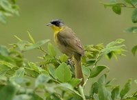Olive-crowned Yellowthroat - Geothlypis semiflava
