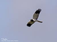 Pied Harrier(male)