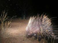 Porcupines seem to love having their picture taken...this is one of many!
