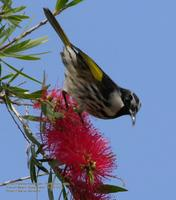 ...White-cheeked Honeyeater, Phylidonyris  nigra, Coolum Beach, Queensland, 13 October 2005. Photo