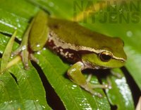 : Litoria phyllochroa; Leaf Green Tree Frog