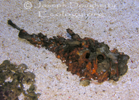 : Synanceia horrida; Estuarine Stonefish