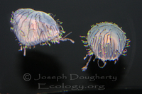 : Olindas formosa; Flower Hat Jelly