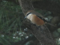 Lanius bucephalus Bull-headed SHrike モズ