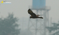 Fig. 1. Eastern Marsh Harrier : 개구리매