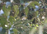 カオグロムシクイ  Black-faced Warbler Abroscopus schisticeps