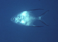 Trachinotus goodei, Palometa: fisheries, aquaculture, gamefish