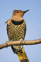 Image of: Colaptes auratus (northern flicker)