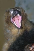 Eulemur rubriventer - Red-bellied Lemur