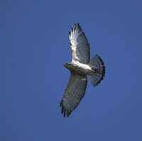 Broad-winged Hawk (Buteo platypterus) photo