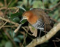 Slaty-legged Crake (Rallina eurizonoides) photo
