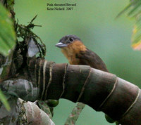 Pink-throated Becard - Pachyramphus minor