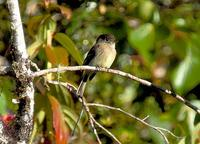Black-capped Flycatcher close-up and on our way to Oro Verde