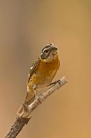 Black Headed Grosbeak ( Pheucticus melanocephalus ) , Gila National Forest , New Mexico stock ph...