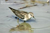 Calidris temminckii , 흰꼬리좀도요 - Temminck's Stint